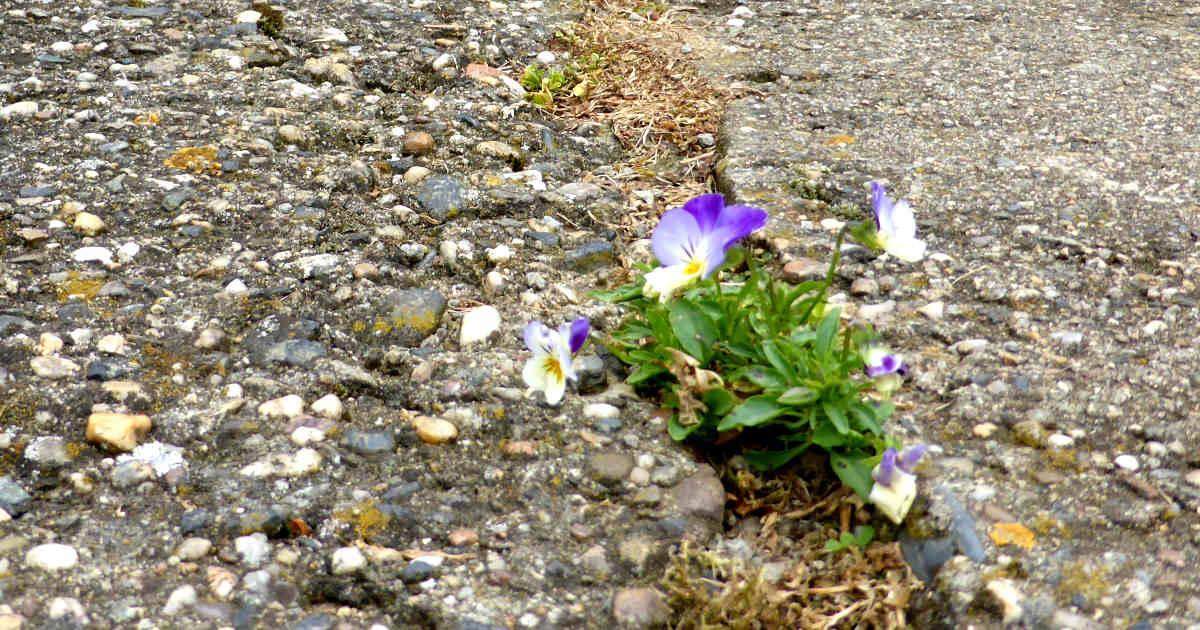 Un fiore che cresce nelle crepe dell'asfalto