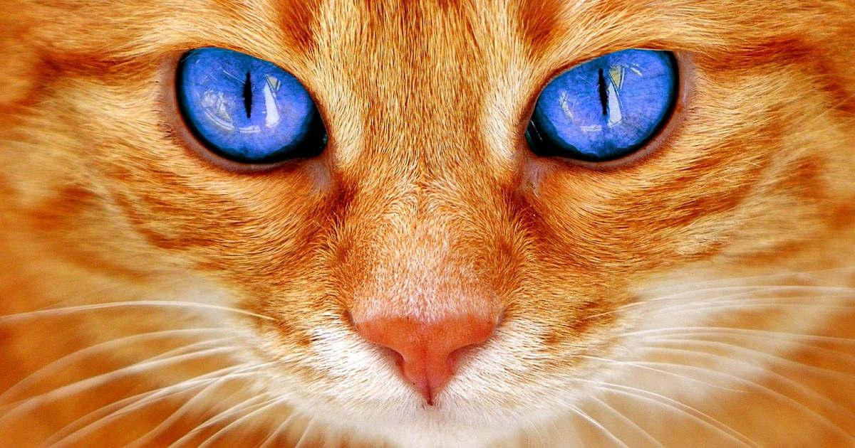 L'attenzione di un gatto rosso con occhi blu
